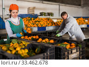 Man and woman working on tangerines sorting line. Стоковое фото, фотограф Яков Филимонов / Фотобанк Лори