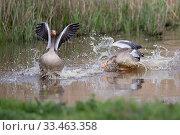 Купить «Greylag goose (Anser anser) chasing another, Norfolk, England, UK, April.», фото № 33463358, снято 4 июля 2020 г. (c) Nature Picture Library / Фотобанк Лори
