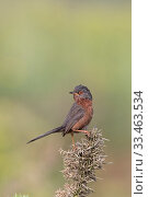 Dartford Warbler (Sylvia undata) perched, Suffolk, England, UK, June. Стоковое фото, фотограф Robin Chittenden / Nature Picture Library / Фотобанк Лори