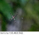 Купить «Orb weaver spider (Argiope argentata) female. Dominica, West Indies, Caribbean. October.», фото № 33463542, снято 14 июля 2020 г. (c) Nature Picture Library / Фотобанк Лори