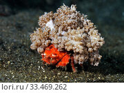 Redspot sponge crab (Lewindromia unidentata), carrying attached soft coral (Xenia sp.)  Lembeh Strait, North Sulawesi, Indonesia. Стоковое фото, фотограф Linda Pitkin / Nature Picture Library / Фотобанк Лори