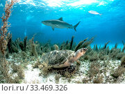 Купить «Hawksbill sea turtle (Eretmochelys imbricata) hiding in the sargassum seaweed as a tiger shark (Galeocerdo cuvier) swims past. Image made off Grand Bahama Island, Bahamas.», фото № 33469326, снято 31 мая 2020 г. (c) Nature Picture Library / Фотобанк Лори