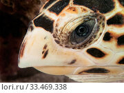 Купить «Close up of the face of Hawksbill sea turtle (Eretmochelys imbricata) underwater, The Bahamas.», фото № 33469338, снято 31 мая 2020 г. (c) Nature Picture Library / Фотобанк Лори