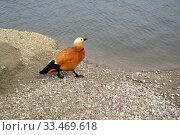 Купить «Огарь (красная утка) (Tadorna ferruginea (Pallas) идет по берегу пруда», фото № 33469618, снято 3 апреля 2016 г. (c) Ирина Борсученко / Фотобанк Лори