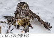 Купить «Pygmy owl (Glaucidium passerinum), with Yellowhammer (Emberiza citrinella) prey, Finland, January.», фото № 33469950, снято 4 апреля 2020 г. (c) Nature Picture Library / Фотобанк Лори