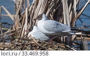 Купить «Black-headed Gull (Larus ridibundus), nesting pair, Finland, May.», фото № 33469958, снято 4 июня 2020 г. (c) Nature Picture Library / Фотобанк Лори