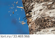 Купить «White-backed woodpecker (Dendrocopos leucotos), female excavating nest in birch tree, expelling wood chips from hole, Finland, April.», фото № 33469966, снято 4 апреля 2020 г. (c) Nature Picture Library / Фотобанк Лори