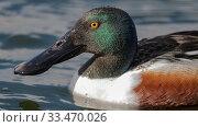 Купить «Shoveler (Spatula clypeata), male, Finland, May.», фото № 33470026, снято 27 мая 2020 г. (c) Nature Picture Library / Фотобанк Лори