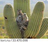 Купить «Great horned owl (Bubo virgininus) with chicks in nest in Saguaro cactus (Carnegiea gigantea) Sonoran desert, Arizona, USA.», фото № 33470098, снято 4 апреля 2020 г. (c) Nature Picture Library / Фотобанк Лори