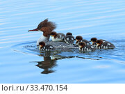 Купить «Common merganser (Mergus merganser) female with young on back and around her, Germany, April», фото № 33470154, снято 27 мая 2020 г. (c) Nature Picture Library / Фотобанк Лори