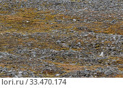 Купить «Two arctic foxes (Alopex lagopus) in white winter fur, resting in a moss-covered rock slide. Spitsbergen, Svalbard, Norway.», фото № 33470174, снято 2 апреля 2020 г. (c) Nature Picture Library / Фотобанк Лори