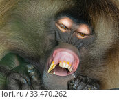 Gelada baboon (Theropithecus gelada) male yawning, showing long incisors. Captive, endemic to Ethiopia. Стоковое фото, фотограф Ernie  Janes / Nature Picture Library / Фотобанк Лори