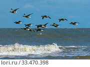 Купить «RF - Brent geese (Branta bernicla) flock in flight over the north sea at Titchwell RSPB Reserve, Norfolk, UK. (This image may be licensed either as rights managed or royalty free.)», фото № 33470398, снято 3 апреля 2020 г. (c) Nature Picture Library / Фотобанк Лори