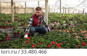 Young male farmer controlling quality of Pelargonium plants in glasshouse farm. Стоковое видео, видеограф Яков Филимонов / Фотобанк Лори