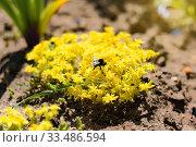 Желтый очиток в летнем саду. Стоковое фото, фотограф Papoyan Irina / Фотобанк Лори