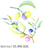Купить «Olive branches in a watercolor style isolated. Full name of the plant: Branches of an olive tree. Aquarelle olive tree for background, texture, wrapper pattern, frame or border.», фото № 33496826, снято 13 июля 2020 г. (c) easy Fotostock / Фотобанк Лори