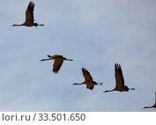 Купить «Flock of cranes flying in sky», фото № 33501650, снято 1 июня 2020 г. (c) Яков Филимонов / Фотобанк Лори