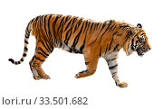 tiger . Isolated over white. Стоковое фото, фотограф Яков Филимонов / Фотобанк Лори