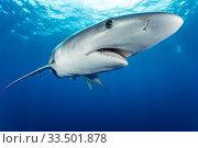 Купить «Blue shark (Prionace glauca) Pico Island, Azores, Portugal, Atlantic...», фото № 33501878, снято 6 августа 2020 г. (c) Nature Picture Library / Фотобанк Лори