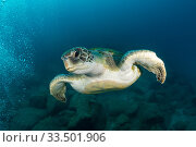 Купить «Green turtle (Chelonia mydas), South Tenerife, Canary Islands, Atlantic Ocean.», фото № 33501906, снято 31 мая 2020 г. (c) Nature Picture Library / Фотобанк Лори