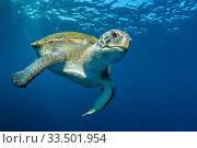 Купить «Green turtle (Chelonia mydas), South Tenerife, Canary Islands, Atlantic Ocean.», фото № 33501954, снято 11 июля 2020 г. (c) Nature Picture Library / Фотобанк Лори
