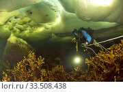 Diver is swimming under the ice pack in shallow water Russia. White Sea. Стоковое фото, фотограф Pascal Kobeh / Nature Picture Library / Фотобанк Лори