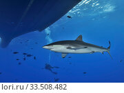 Купить «Silky shark (Carcharhinus falciformis) close to the surface and near boat with Black jacks / Trevally (Caranx lugubris) and diver in the background, Revillagigedo islands, Mexico. Pacific Ocean.», фото № 33508482, снято 6 июня 2020 г. (c) Nature Picture Library / Фотобанк Лори
