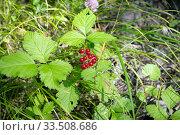 Костяника каменистая (лат. Rubus saxаtilis) с созревшими ягодами растёт среди травы в лесу. Стоковое фото, фотограф Светлана Попова / Фотобанк Лори