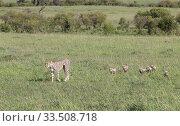 Купить «Cheetah (Acinonyx jubatus) female and cubs walking through savannah to change location in order to avoid predators. Brood of seven cubs, a record for the area. Masai Mara National Reserve, Kenya.», фото № 33508718, снято 8 апреля 2020 г. (c) Nature Picture Library / Фотобанк Лори