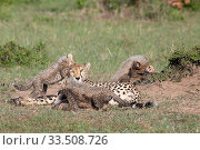 Купить «Cheetah (Acinonyx jubatus) cubs playing around resting mother. Brood of seven cubs, a record for the area. Masai Mara National Reserve, Kenya.», фото № 33508726, снято 8 апреля 2020 г. (c) Nature Picture Library / Фотобанк Лори