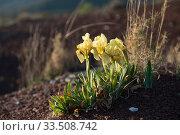 Iris chamaeiris flowers, Salagou, Languedoc, France. March 2019. Стоковое фото, фотограф Jean E. Roche / Nature Picture Library / Фотобанк Лори