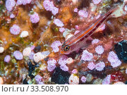 Tropical striped triplefin (Helcogramma striatum) on Pink sea squirts (Didemnidae). Derawan Islands, East Kalimantan, Indonesia. Стоковое фото, фотограф Georgette Douwma / Nature Picture Library / Фотобанк Лори
