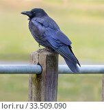 Купить «Carrion Crow (Corvus corone) on a fence post, UK.», фото № 33509090, снято 10 июля 2020 г. (c) Nature Picture Library / Фотобанк Лори
