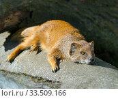 Купить «Yellow mongoose (Cynictis penicillata) sunbathing. Captive.», фото № 33509166, снято 5 августа 2020 г. (c) Nature Picture Library / Фотобанк Лори
