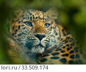 Close up of an Amur leopard (Panthera pardus orientalis) portrait. Captive, with digitally added leaf pattern. Стоковое фото, фотограф Ernie  Janes / Nature Picture Library / Фотобанк Лори