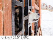 Husky in the aviary. Стоковое фото, фотограф Gagara / Фотобанк Лори