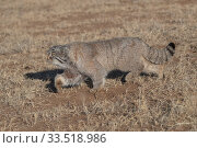 Pallas's cat (Otocolobus manul) walking through steppe. East Mongolia. February. Стоковое фото, фотограф Sylvain Cordier / Nature Picture Library / Фотобанк Лори