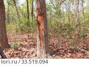 Tree damaged by Asian elephant (Elephas maximus). Jim Corbett National Park, Uttarakhand, India. Стоковое фото, фотограф Sylvain Cordier / Nature Picture Library / Фотобанк Лори