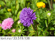 Фиолетовая астра цветет в летнем саду. Стоковое фото, фотограф Елена Коромыслова / Фотобанк Лори