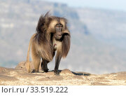 Gelada baboon (Theropithecus gelada), dominant male walking. Debre Libanos, Rift Valley, Ethiopia. Стоковое фото, фотограф Sylvain Cordier / Nature Picture Library / Фотобанк Лори