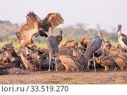 White-backed vulture (Gyps africanus) group and Marabou storks (Leptoptilos crumenifer) feeding on African elephant (Loxodonta africana) carcass. Elephant... Стоковое фото, фотограф Sylvain Cordier / Nature Picture Library / Фотобанк Лори
