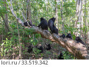 Купить «Celebes crested macaque (Macaca nigra) group sitting on and amongst trees in forest. Tangkoko National Park, Sulawesi, Indonesia.», фото № 33519342, снято 5 июня 2020 г. (c) Nature Picture Library / Фотобанк Лори