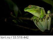 Купить «White-lipped tree frog (Litoria infrafrenata) in gallery forest along the Archer River. Piccaninny Plains Sanctuary, Cape York Peninsula, Queensland, Australia», фото № 33519442, снято 6 августа 2020 г. (c) Nature Picture Library / Фотобанк Лори