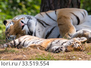 Купить «Siberian tiger (Panthera tigris altaica) female and cub, age 3 months, asleep resting, Captive», фото № 33519554, снято 2 июня 2020 г. (c) Nature Picture Library / Фотобанк Лори
