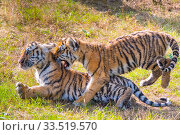 Siberian tiger (Panthera tigris altaica) cubs, age 3 months, playing... Стоковое фото, фотограф Edwin Giesbers / Nature Picture Library / Фотобанк Лори