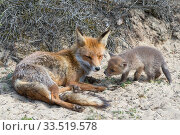 Купить «Red fox (Vulpes vulpes) female with cub age five weeks, the Netherlands.», фото № 33519578, снято 4 июня 2020 г. (c) Nature Picture Library / Фотобанк Лори