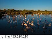 Greater flamingo (Phoenicopterus roseus) European flamingo, Pont Du Gau Park, Camargue, France. Стоковое фото, фотограф Edwin Giesbers / Nature Picture Library / Фотобанк Лори