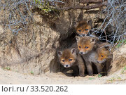RF - Red fox (Vulpes vulpes) cubs age five weeks, at den in sand dunes, the Netherlands. (This image may be licensed either as rights managed or royalty free.) Стоковое фото, фотограф Edwin Giesbers / Nature Picture Library / Фотобанк Лори