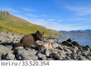 RF - Arctic fox (Alopex lagopus) cub feeding on cod carcass scavenged on the beach. Hornvik, Westfjords, Iceland. July (This image may be licensed either as rights managed or royalty free.) Стоковое фото, фотограф Terry  Whittaker / Nature Picture Library / Фотобанк Лори
