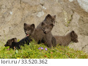 Arctic fox cubs (Alopex lagopus) Hornvik, Westfjords, Iceland. July. Стоковое фото, фотограф Terry  Whittaker / Nature Picture Library / Фотобанк Лори